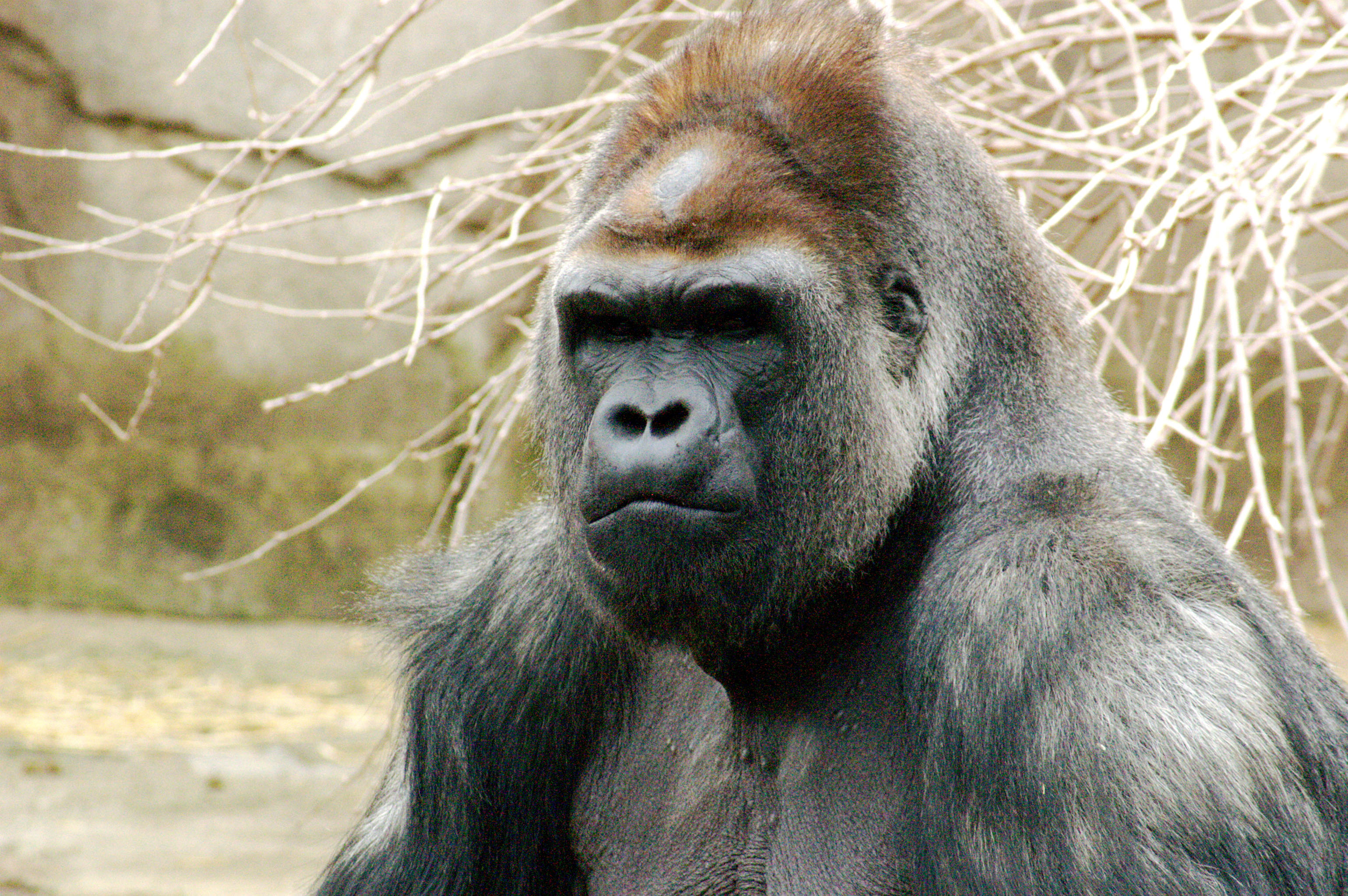 What have we got in common with a gorilla?