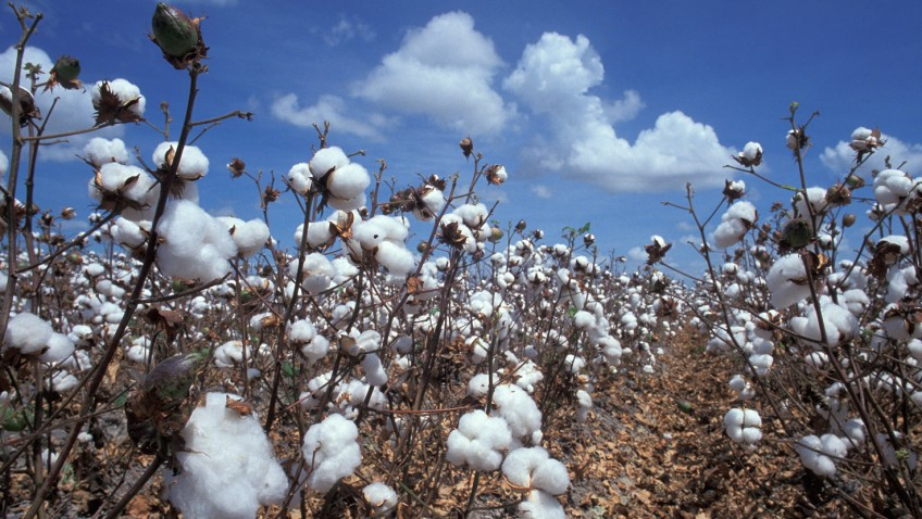 Ancient Egyptian cotton unveils secrets of domesticated crop evolution