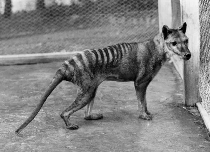 Tasmanian Tiger : Wiki Commons