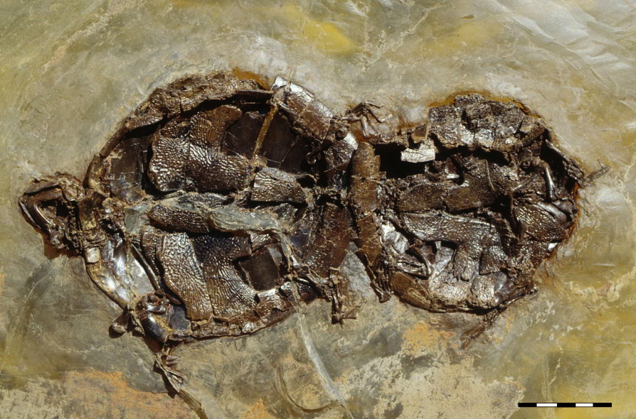The first record of mating fossil vertebrates discovered by University of Tübingen geoscientist's team.