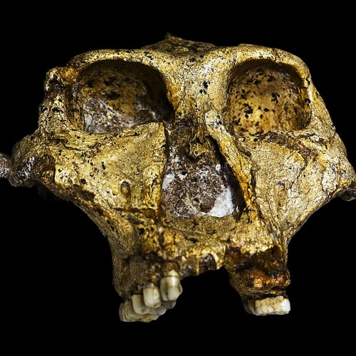 New Paranthropus Fossils Revealed