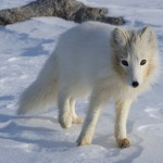 Little Ice Age led to migration of island hopping arctic foxes