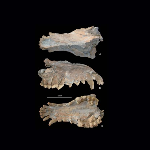 New findings represent extensive sample of early fossil wolf