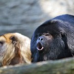 Monkey business: What howler monkeys can tell us about the role of interbreeding in human evolution
