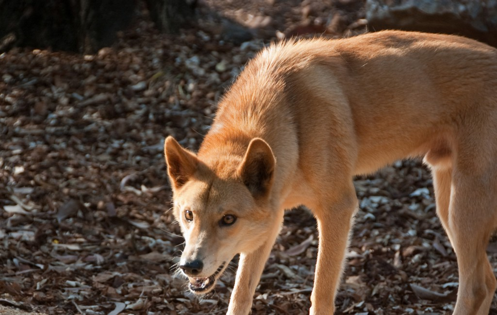 dingo