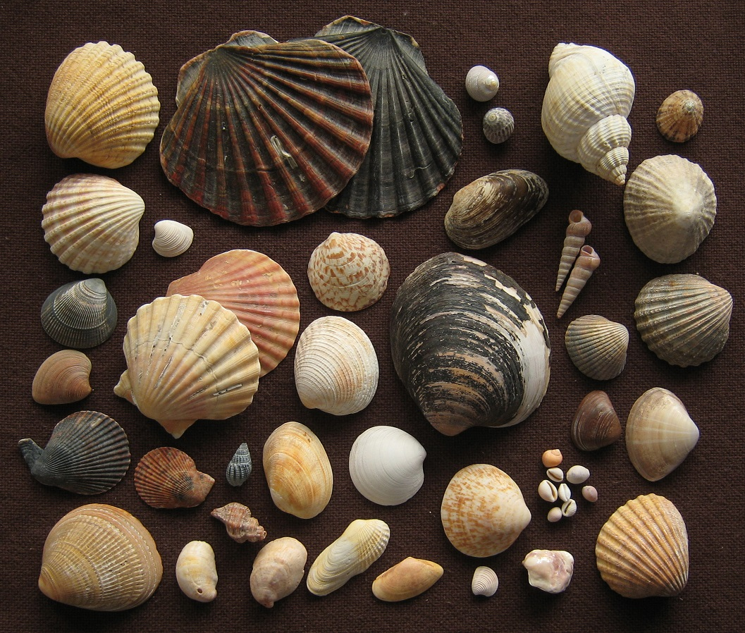 Seashells inspire new way to preserve bones for archaeologists