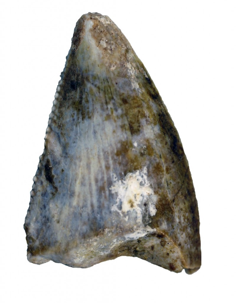 Adaffa Theropod Tooth: This isolated tooth evidences the first identifiable carnivorous theropod dinosaur from the Arabian Peninsula. Abelisaurids like this specimen have been found in the ancient Gondwanan landmasses of North Africa, Madagascar and South America. Photograph: Maxim Leonov (Palaeontological Institute, Moscow).