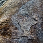 Iconic Australasian trees found as fossils in South America