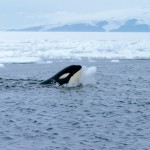 The killer whale's survival during the Ice Age