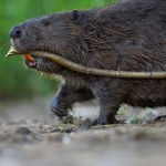 Researchers shed new light on the genetic history of the European beaver