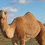 Finding Israel's First Camels