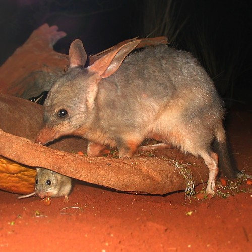 Palaeontologists unearth rare 15-million-year-old bilby