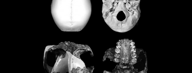 'Homo' is the only primate whose tooth size decreases as its brain size increases