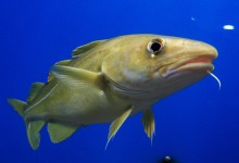 Cod bones reveal 13th century origin of global fish trade
