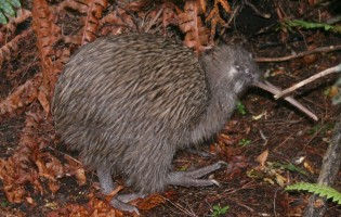 Ancient DNA ends Aussie claim to kiwi origins