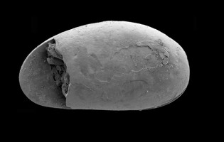 Ancient giant sperm discovered