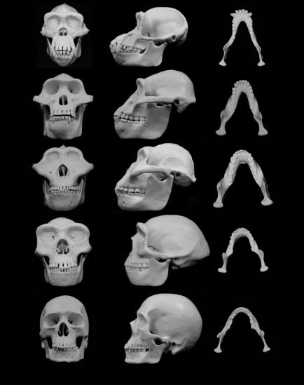 University of Utah biologist David Carrier and Michael H. Morgan, a University of Utah physician, contend that human faces -- especially those of our australopith ancestors -- evolved to minimize injury from punches to the face during fights between males. Their research is published in the June 9 issue of Biological Reviews. Credit: Courtesy image/University of Utah