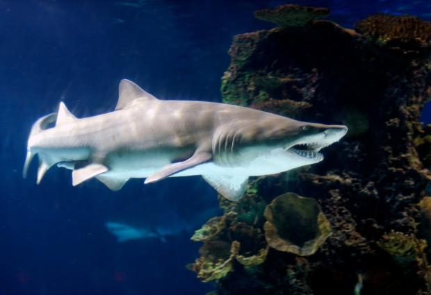 New study: Ancient Arctic sharks tolerated brackish water 50 million years ago