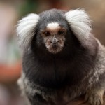 Marmoset sequence unveils new information on primate biology and evolution
