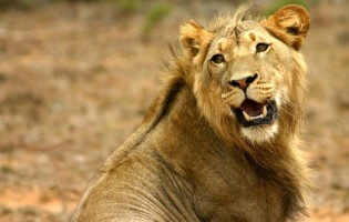 How the lion got his head back