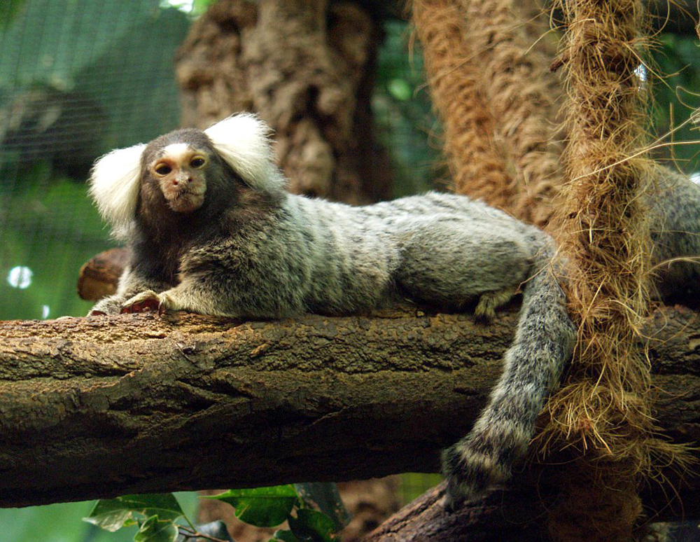 Common Marmoset: WikiPedia