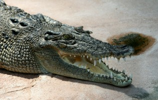 Evolution of marine crocodilians constrained by ocean temperatures