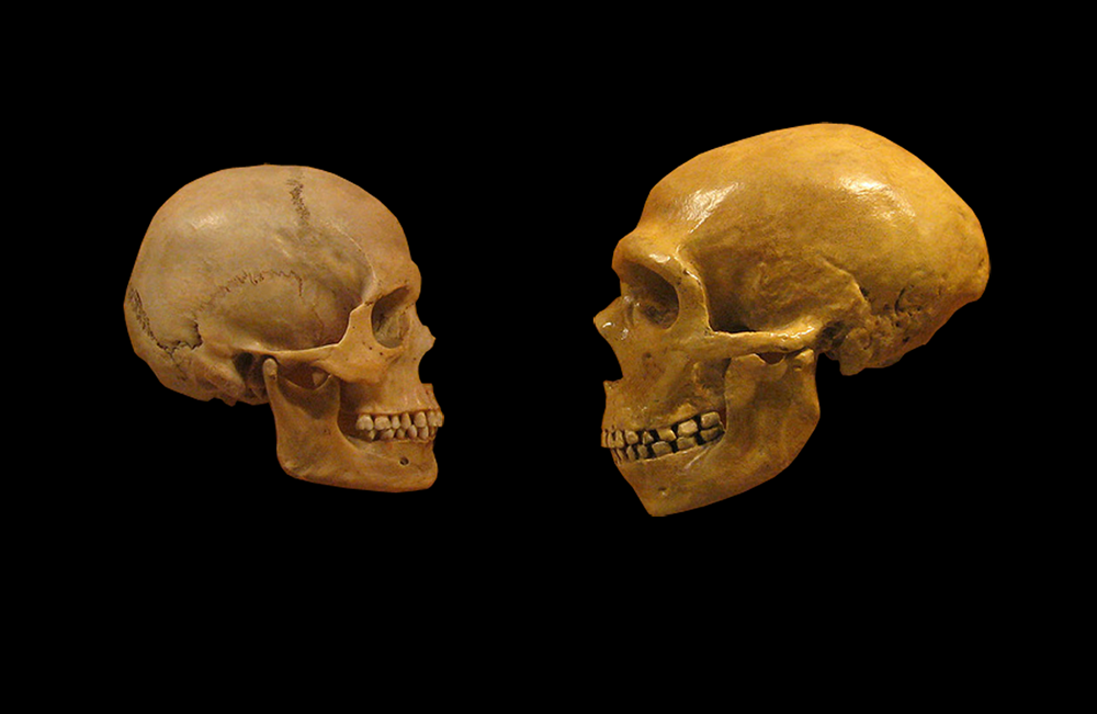 Sapeins and Neanderthal comparison: Wikimedia