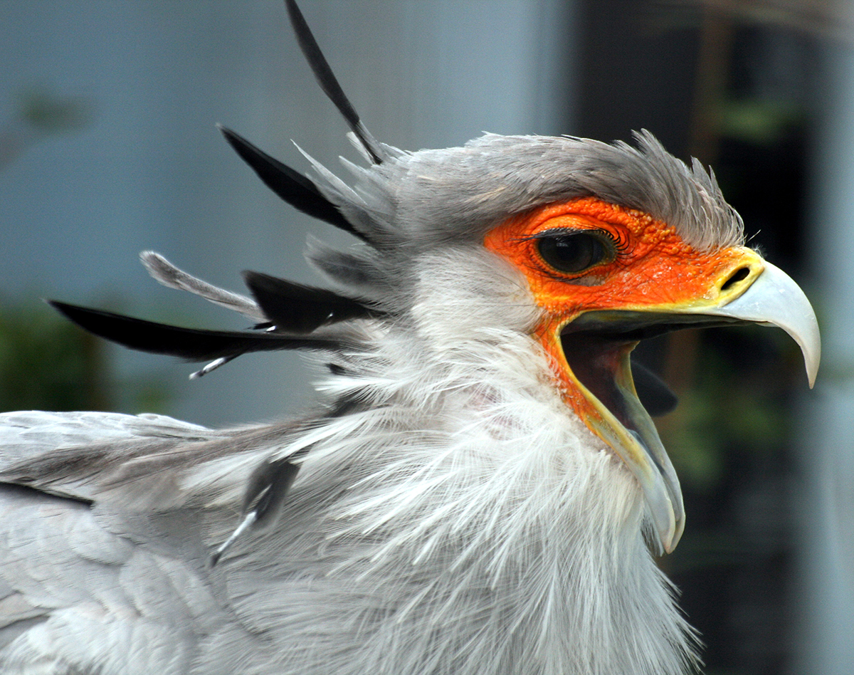 Secretary_Bird_with_open_beak