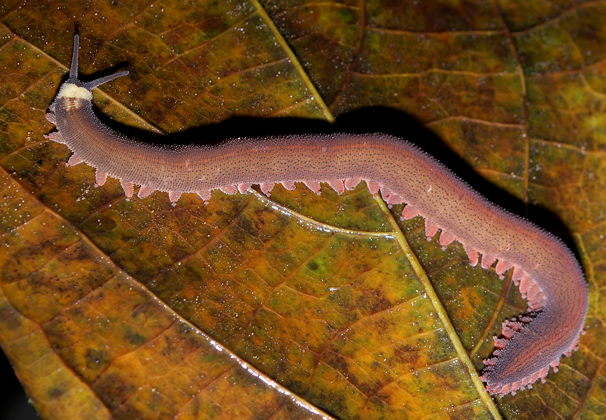 Velvet_worm_rotated,_mirror
