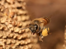 Evolutionary history of honeybees revealed by genomics