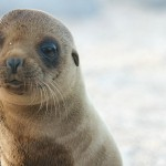 Pre-Columbian Mycobacterial Genomes Reveal Seals as a Source of New World Human Tuberculosis