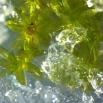 Mosses survive climate catastrophes