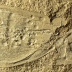 Ancient fossils confirmed among our strangest cousins