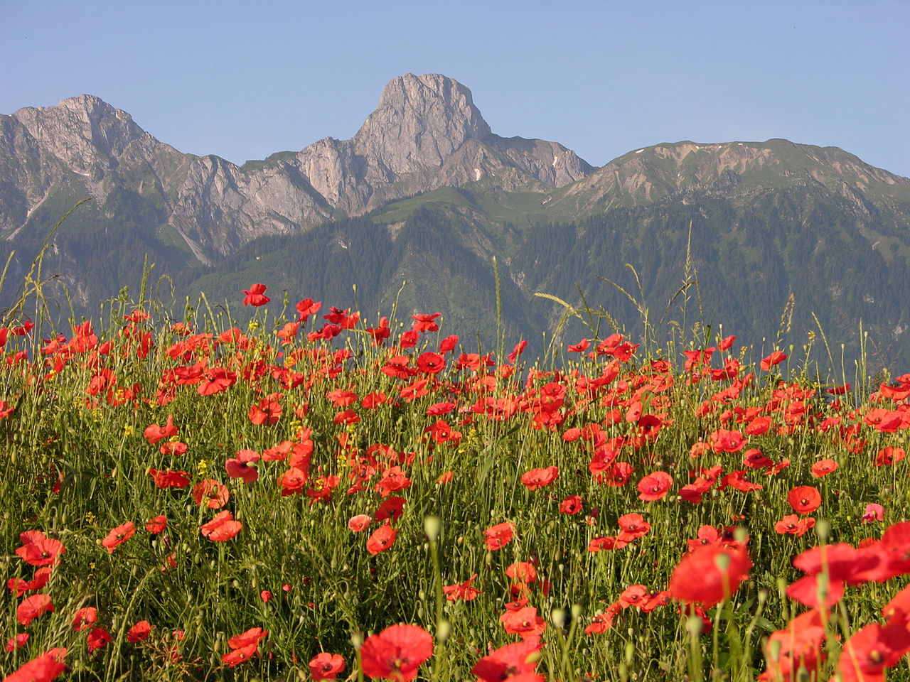 Stockhorn,_Red_Poppieswikimedia