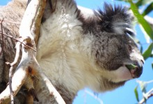 Koala study reveals clues about origins of the human genome