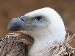 Vultures evolved an extreme gut to cope with disgusting dietary habits