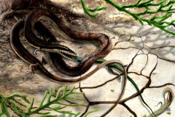 Reconstruction of Tetraphodophis eating an olindalacerta (salamander) by James Brown/UOP