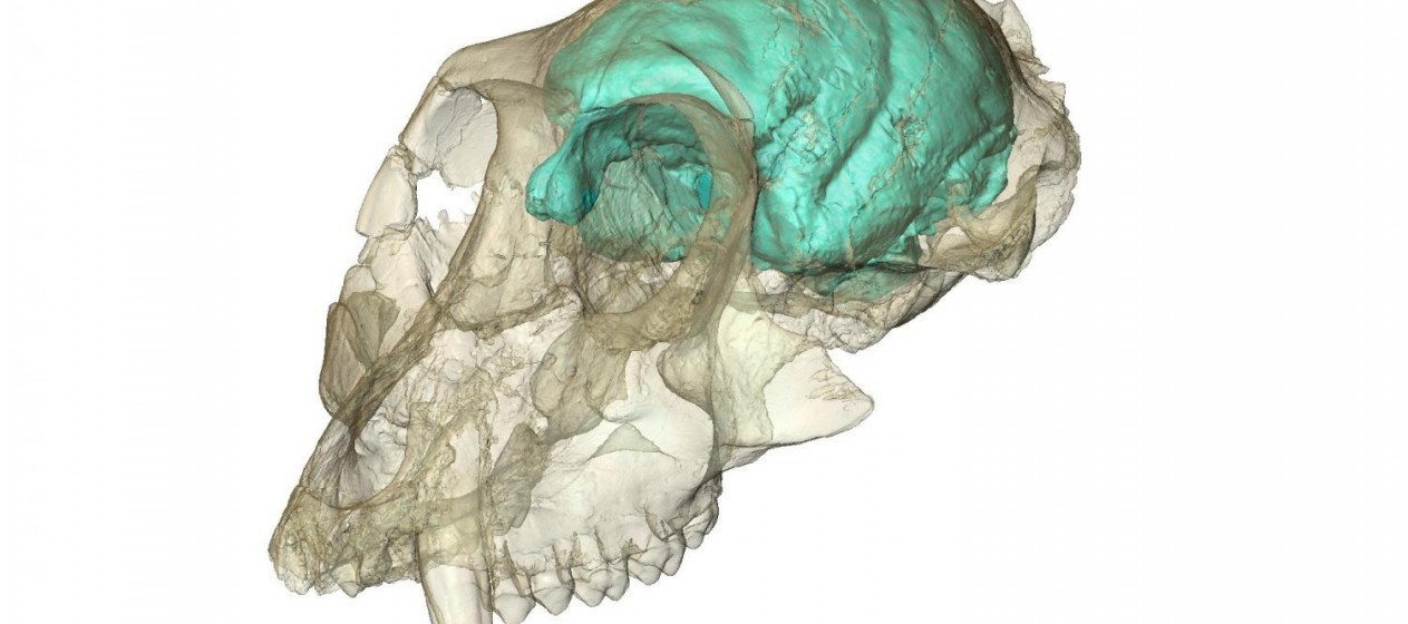 Photo courtesy of Fred Spoor of the Max Planck Institute for Evolutionary Anthropology.