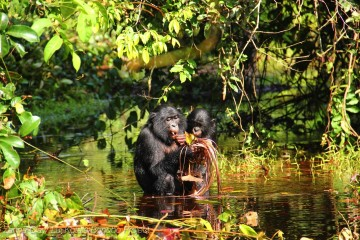 CC-BY. Credit: Zanna Clay/Lui Kotale Bonobo Project