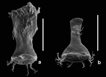 A malformed ('teratological') chitinozoan specimen of the genus Ancyrochitina (a) and a morphologically normal specimen (b) of the same genus. Both of these Silurian microfossils are from the A1-61 well in Libya and are about 415 Ma old. Scale bars are 0.1 mm.