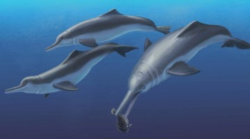 This is an artistic reconstruction of Isthminia panamensis, a new fossil dolphin from Panama, feeding on a flatfish. Many features of this new species appear similar to today's ocean dolphins, yet the new fossil species is more closely related to the living Amazon River dolphin. The fossils of Isthminia panamensis were collected from marine rocks that date to a time (around 6 million years ago) before the Isthmus of Panama formed and a productive Central American Seaway connected the Atlantic and Pacific oceans. CREDIT : Julia Molnar / Smithsonian Institution