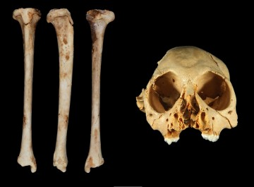 Antillothrix bones and skull are displayed. CREDIT : Journal of Human Evolution