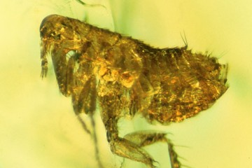 This flea preserved about 20 million years ago in amber may carry evidence of an ancestral strain of the bubonic plague. CREDIT (Photo by George Poinar, Jr., courtesy of Oregon State University)