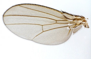 Fruit fly wings open window on evolutionary question. Photo: David Houle, Florida State University