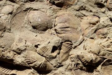 "Late Devonian brachiopod fossils were preserved as molds in a fine-grained sandstone (Big Creek, Hornell, New York, N 42.364361, W 77.645760). Individual fossil samples like this are the basis for testing the effects of biases on the global record of biodiversity history. From ""Sustained Mesozoic-Cenozoic diversification of marine Metazoa: A consistent signal from the fossil record,"" by A.M. Bush and R.K. Bambach. CREDIT : Geology and A.M. Bush and R.K. Bambach"
