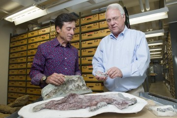 Paleontologists Dr. Louis Jacobs (right), Southern Methodist University, and Dr. Anthony Fiorillo (left), Perot Museum of Nature and Science, Dallas, discuss 23 million-year-old Desmostylia fossils from the Aleutian Islands. The fossils intensify the mystery surrounding the toothy, hippopotamus-sized mammal unique to the North Pacific. An oddball creature, it suction-fed shoreline vegetation. CREDIT (Hillsman Jackson, SMU)