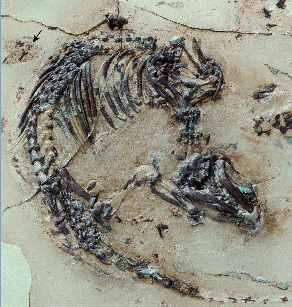 Skeleton of the Cretaceous mammal Spinolestes with preserved fur shadows. The outer ear can be seen at the upper edge of the photo. During preparation, the skeleton was transferred to a plastic matrix. CREDIT : Georg Oleschinski. With permission of Nature Publishing Group