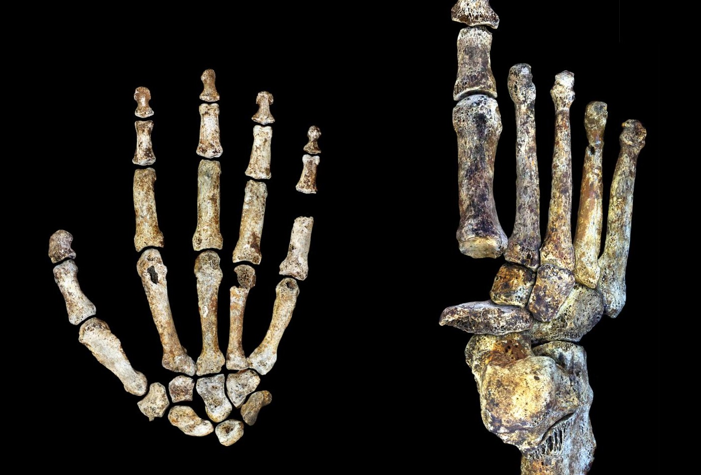 The Homo naledi hand and foot were uniquely adapted for both tree climbing and walking upright. CREDIT Peter Schmid and William Harcourt-Smith | Wits University