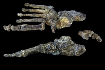 This is a digital reconstruction of the foot of Homo naledi. CREDIT © Nature Communications