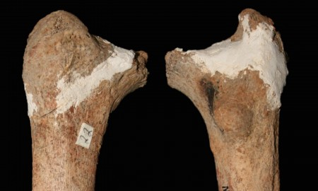 This is a newly described 14,000 year old pre-modern thigh bone from the Red Deer Cave people of Southwest China. CREDIT Credit: Darren Curnoe & Ji Xueping